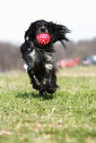 Cocker playing. Black and grey cocker playing Royalty Free Stock Images