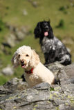 Cocker and poodle portrait Stock Photography
