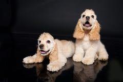 Cocker Puppies Stock Image