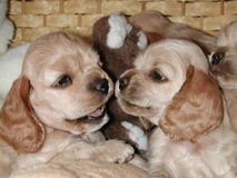 Cocker puppies interaction. Interaction between two American Cocker Spaniel puppies Royalty Free Stock Image
