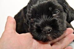 Cocker puppy Royalty Free Stock Photo