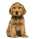 Cocker puppy sitting, looking at the camera royalty free stock photo
