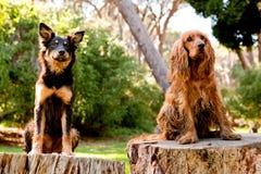 Cocker-spaniël en straathond Stock Foto