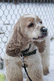 Cocker Spaniel 1. Stock photo of a blond cocker spaniel in a green harness stock photo