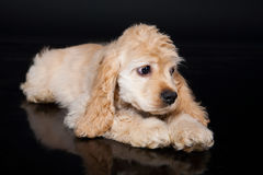 Cocker Spaniel Stock Images