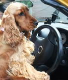 Cocker Spaniel. Sitting in the driver's seat with paws on steering wheel stock images