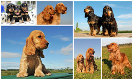 Cocker spaniel Stock Photos
