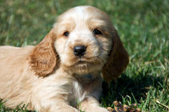 Cocker spaniel. A cocker spaniel puppy sits on a grasy landscape Royalty Free Stock Image