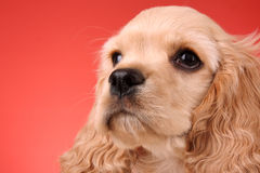 Cocker spaniel. On a white background royalty free stock images