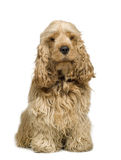 Cocker Spaniel (2 years) Stock Image