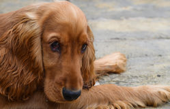 Cocker Spaniel. Puppy cocker spaniel looking sad with those sad eyes royalty free stock images