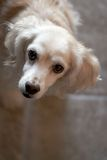 Cocker Spaniel. With curious look Stock Photo