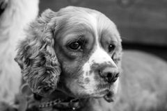 Cocker Spaniel. The cute face of an American Cocker Spaniel looking to the left stock images
