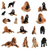 Cocker spaniel Royalty Free Stock Image