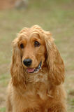 Cocker Spaniel stock image