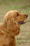 Cocker Spaniel. A beautiful Cocker Spaniel dog head profile portrait with cute expression in the face watching other dogs in the park outdoors royalty free stock photography