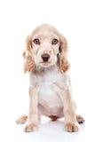Cocker Spaniel. Portrait of a puppy Cocker Spaniel stock images