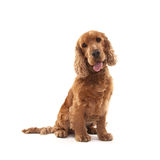 Cocker Spaniel. Adorable Cocker Spaniel isolated on white Stock Images
