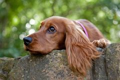Cocker spaniel. Sad sweet cocker spaniel on a wall Royalty Free Stock Photography
