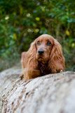Cocker spaniel Royalty Free Stock Photo