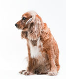 Cocker spaniel Royalty Free Stock Photos