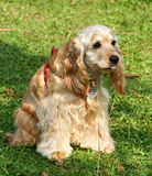 Cocker Spaniel. American Cocker Spaniel resting in the shade at a dog-show Royalty Free Stock Photo