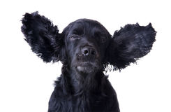 Cocker spaniel Stock Photography
