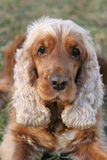 Cocker spaniel. Portrait of an English cocker spaniel in the park Royalty Free Stock Images