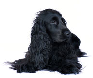Cocker spaniel 4 Stock Photography