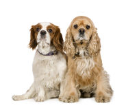 Cocker Spaniel (4 years) and a Cavalier King Charl royalty free stock photos