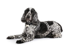 Cocker spaniel Foto de Stock