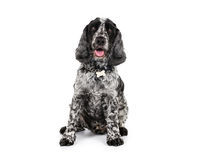 Cocker spaniel Fotos de Stock Royalty Free