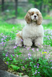 Cocker Spaniel. A cocker Spaniel on the stone Stock Images