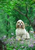 Cocker Spaniel. A cocker Spaniel on the stone Stock Photo