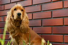 Cocker spaniel. Dog in home stock photography