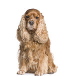 Cocker Spaniel (6 years) Stock Photo