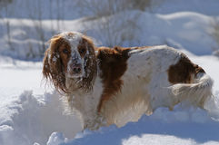 Cocker Spaniel. Playing in the snow Stock Images