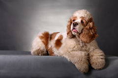 Cocker Spaniel. A cocker Spaniel in front of gray background Stock Photography