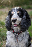 Cocker Spaniel. Portrait of a very handsome cocker spaniel dog Royalty Free Stock Images