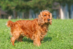 Cocker spaniel royalty free stock images