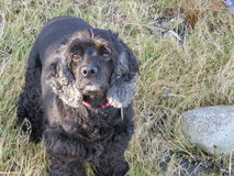 Cocker spaniel Obraz Stock