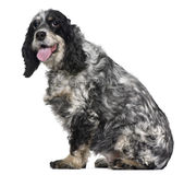 Cocker spaniel, 9 years old, sitting i Royalty Free Stock Photo