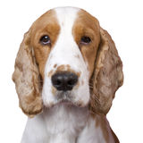 Cocker Spaniel. Stock Photography