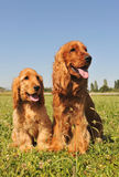 Cocker spaniel, adult and puppy Stock Photo