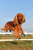 Cocker spaniel in agility Stock Photo