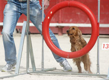 Cocker spaniel in agility. Purebred cocker spaniel in a training of agility stock photo