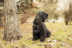 Cocker spaniel. American Cocker Spaniel, black dog, my best friend Stock Photo