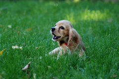 Cocker spaniel auf grünem Gras stockfoto