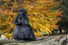 Cocker spaniel in autumn leaves. Black american cocker spaniel portrait in autumn setting - champion bloodlines royalty free stock images