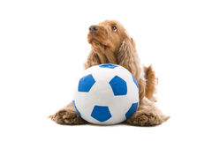 Cocker Spaniel with ball Royalty Free Stock Images